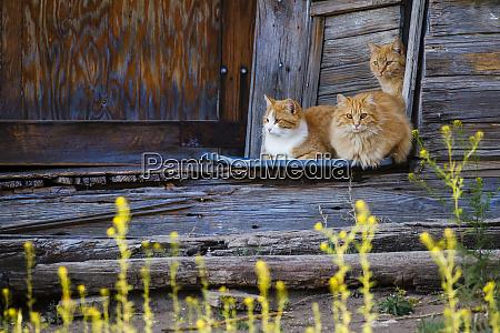 cat felis catus sitting on porch
