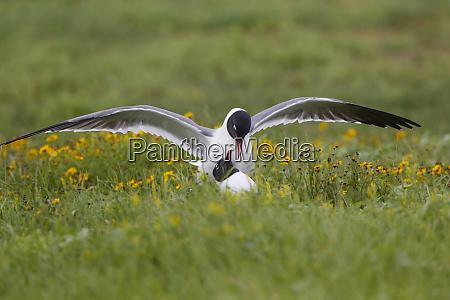 laughing gull larus atricilla breeding activity