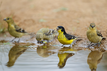lesser goldfinch spinus psaltria males and