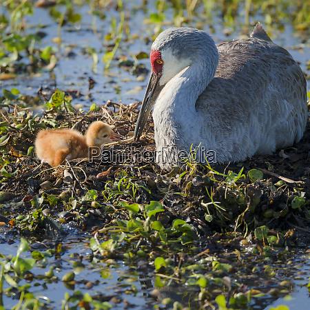 sandhill crane feeding first colt shows