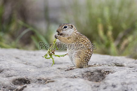 mexican ground squirrel now rio grande