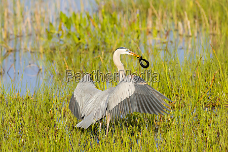 great blue heron ardea herodias with