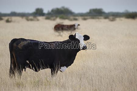 beef cattle grazing in grassy field