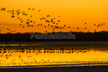 snow geese and sandhill cranes at