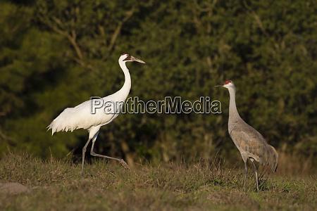 whooping crane grus americana feeding with