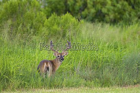 white tailed deer odocoileus virginianus buck