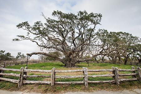 live oak quercus virginiana exhibit