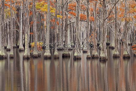 usa georgia cypress trees in the