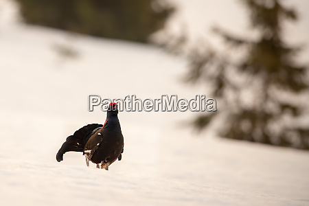 black grouse cock strutting around displaying
