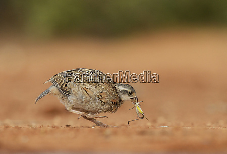 northern bobwhite colinus virginianus young eating