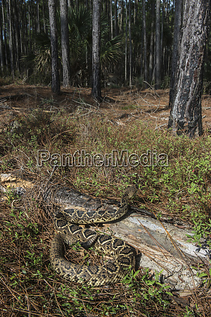eastern diamondback rattlesnake crotalus adamanteus little