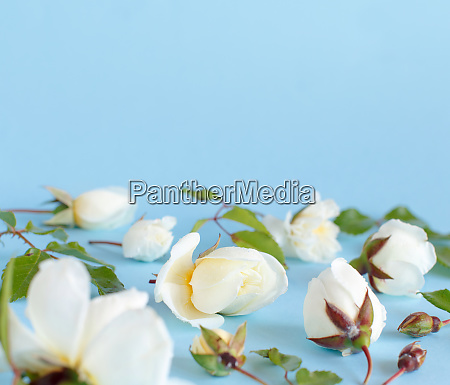 roses on a light blue background