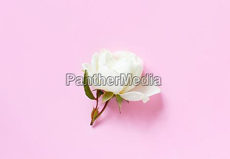 cream rose on a light pink
