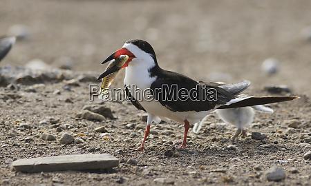 black skimmer rynchops niger adult feeding