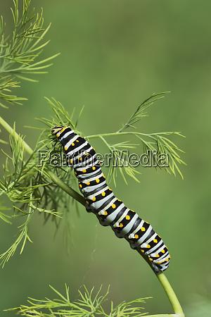 black swallowtail papilio polyxenes caterpillar eating