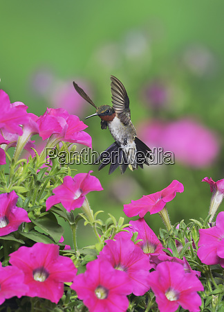 ruby throated hummingbird archilochus colubris male