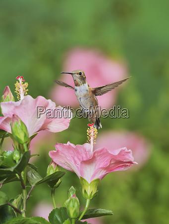 rufous hummingbird selasphorus rufus young male