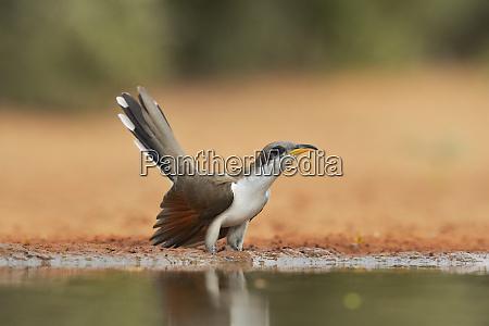 yellow billed cuckoo coccyzus americanus adult