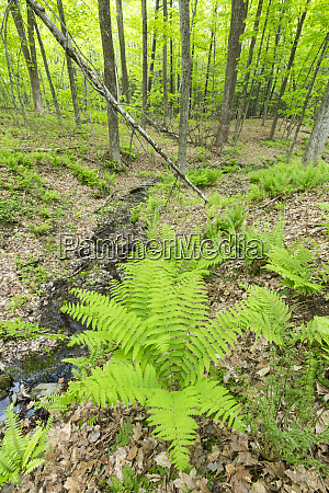 ferns in a hardwood forest in