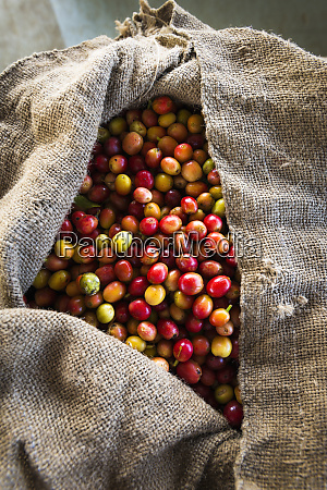 harvested coffee cherries in a burlap