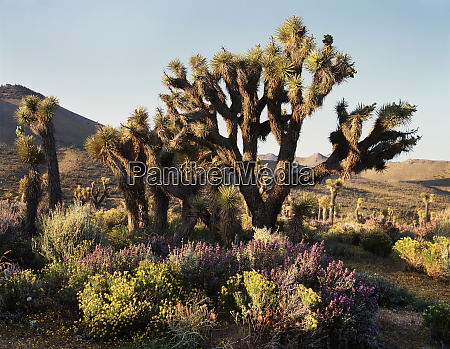 usa california mojave desert joshua trees