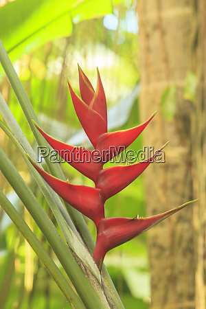 heliconia in hawaiian tropical botanical gardens
