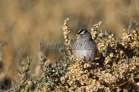 white crowned sparrow zonotrichia leucophrys sunning