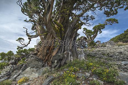 ancient sierra juniper lake tahoe region