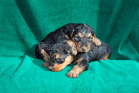 airedale puppies lying on towel mr