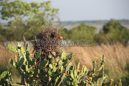 nests on branches and cactus in
