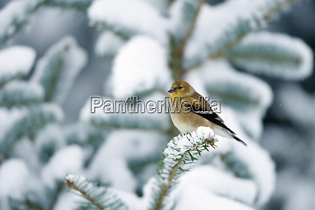 american goldfinch carduelis tristis in fir