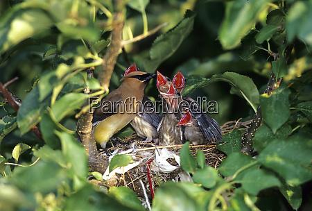 cedar waxwing bombycilla cedrorum feeding nestlings