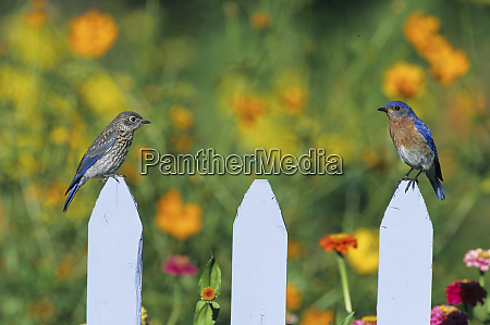 eastern bluebird sialia sialis male feeding