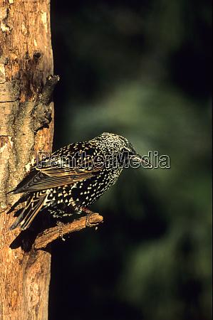 european starling sturnus vulgaris marion il