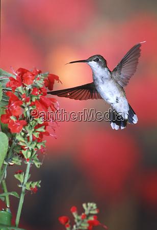 ruby throated hummingbird archilochus colubris female