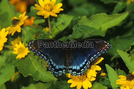 red spotted purple butterfly limenitis arthemis