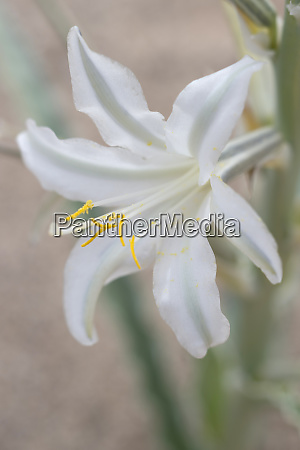 usa california ajo or desert lily