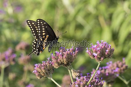 black swallowtail papilio polyxenes male on