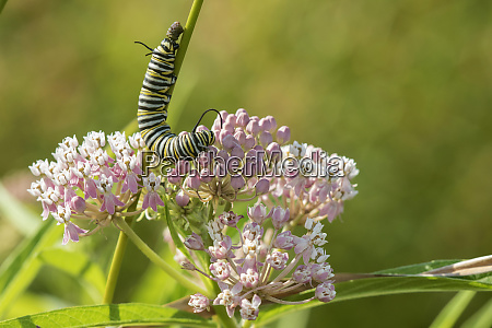 monarch danaus plexippus caterpillar on swamp