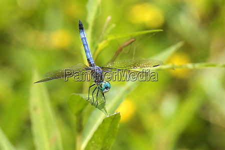 blue dasher pachydiplax longipennis male obelisking