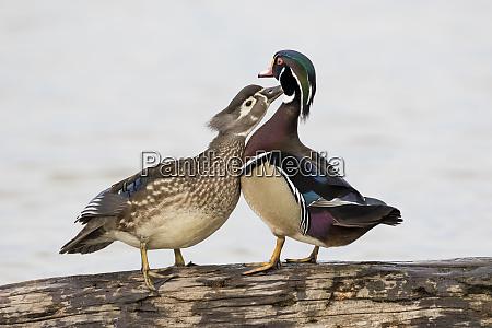 male and female wood ducks aix