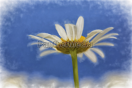 low angle view of oxeye daisy
