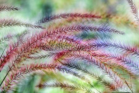 ornamental foxtail grasses louisville kentucky
