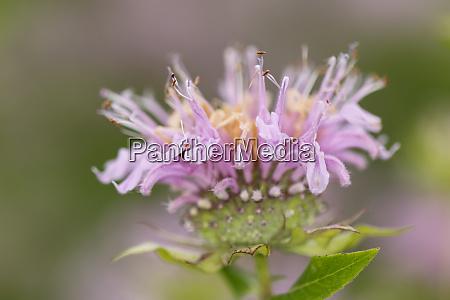 cotton candy beebalm genus monarda kentucky