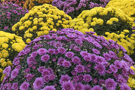 colorful mum pattern crestwood kentucky