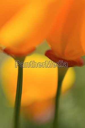 california poppies eschscholzia californica antelope valley