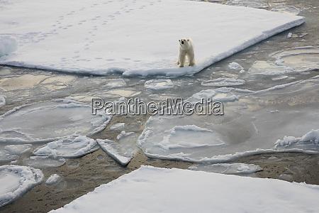 norway svalbard spitsbergen polar bear stands