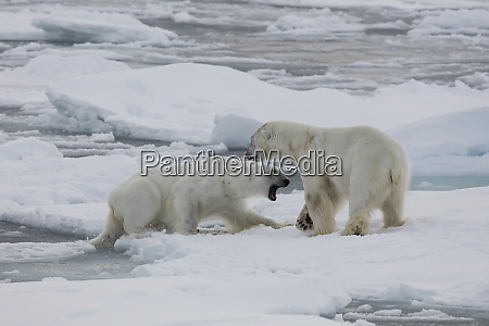 norway svalbard spitsbergen two polar bears