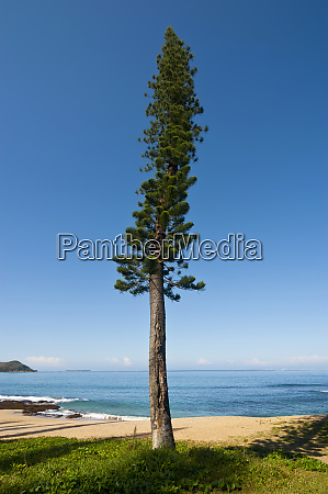 wind shaped pine trees in the