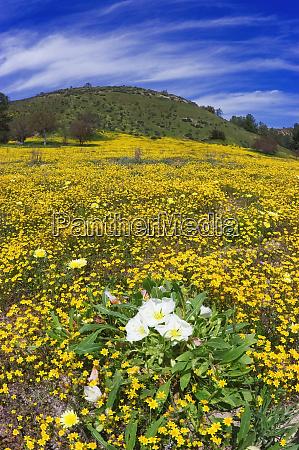 evening primrose oenothera californica goldfields lasthenia